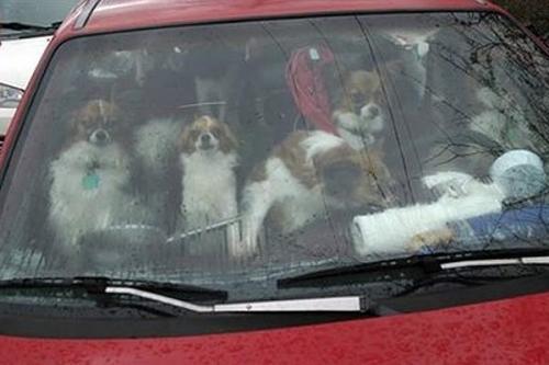 cachorrada_carro