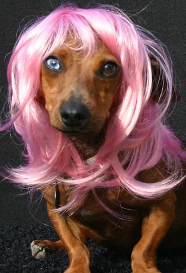 peruca-cao