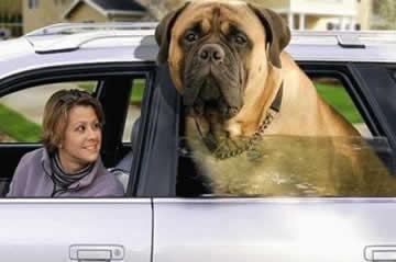 petrede-cachorro-grande-no-carro