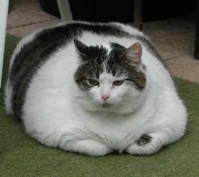 petrede-gato-gordo-obeso