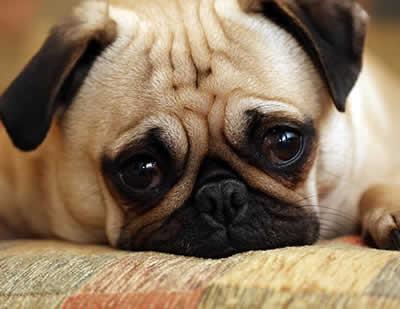 petrede-pug-triste