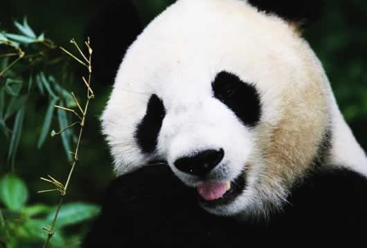 petrede-panda-gigante