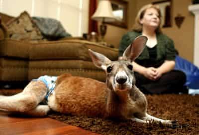 canguru-de-estimacao-petrede