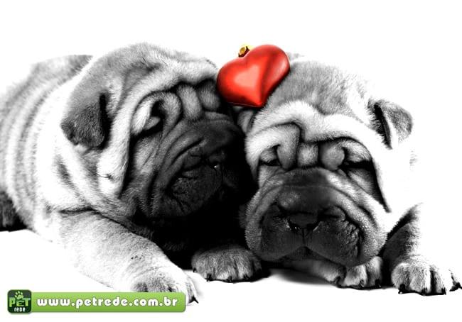 cachorros-pug-amor-namoro-relacionamento-petrede