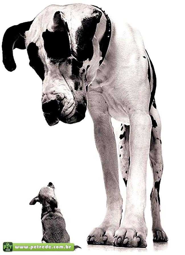 cachorro-pequeno-grande-gigante-tamanho-diferenca-petrede