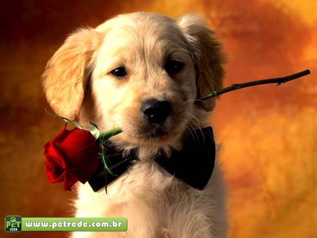 cachorro-filhote-labrador-flor-rosa-amor-namoro-relacionamento-petrede