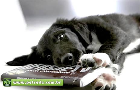 cachorro-chocolate-petrede