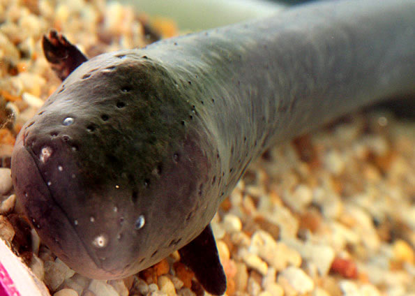 peixe eletrico da amazonia petrede Por que peixe elétrico dá choque?