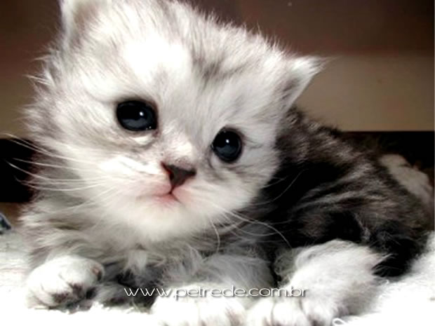 gato-filhote-olhar-petrede