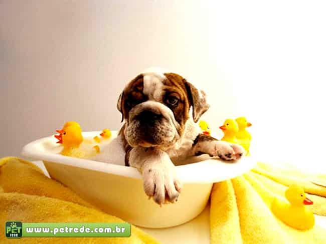 cachorro-buldogue-banho-banheira-petrede
