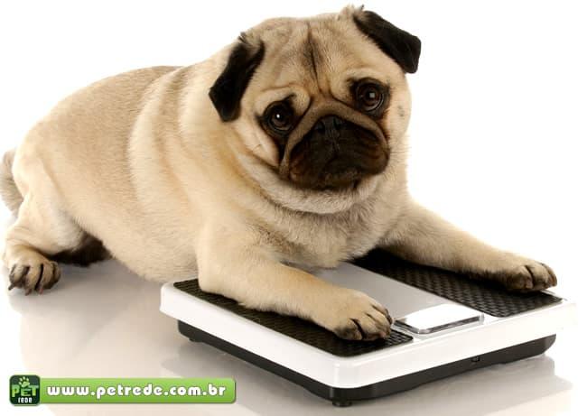 cachorro-pug-balanca-peso-obeso-gordo-gordura-petrede