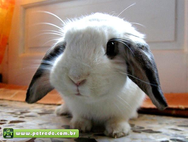 coelho-filhote-petrede