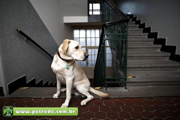 cachorro-labrador-escadas-apartamento-condominio-petrede