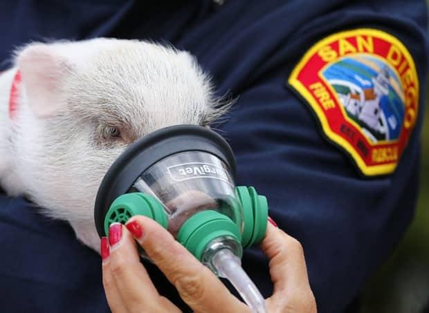 """Filhote de porco é """"atendido"""" por bombeiro durante teste com máscara de oxigênio própria para animais (Foto: Mike Blake/Reuters)"""