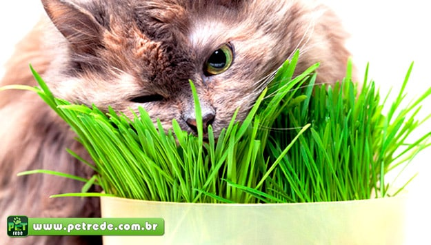 gato-catnip-erva-petrede