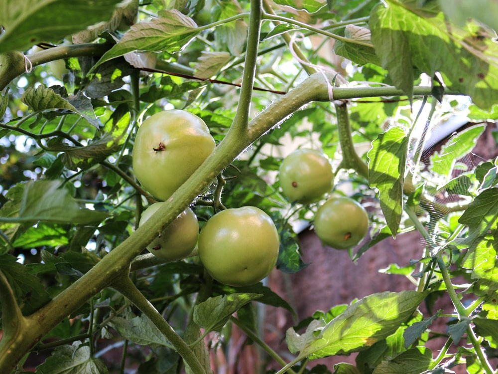 planta-toxica-para-cachorro-gato-tomate-verde-petrede